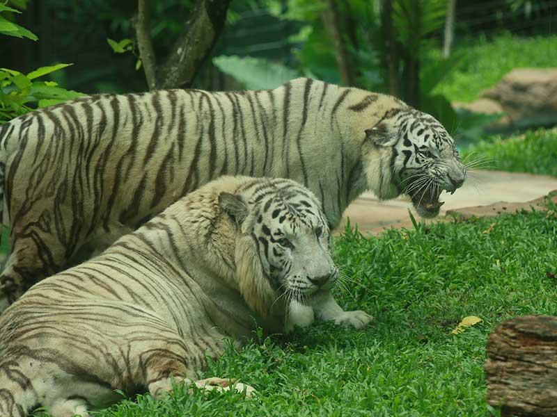 White Tiger at Wildlife Park - Sunway Lagoon Malaysia Zoo